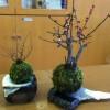 2月の苔玉教室は、22日の月曜日です。