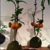 青山器大福店に、ハロウイン苔玉4個限定で置いてあります。