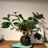 12月クリスマス&お正月用苔玉をどうぞ。